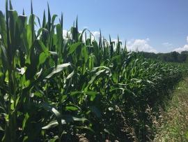 Corn_field_in_central_New_York