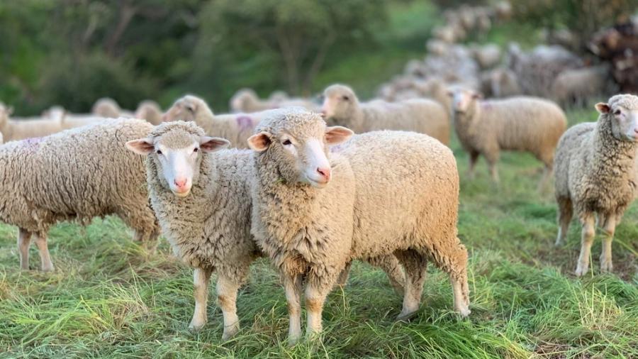 sheep resize blog