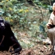 jane-goodall-chimpanzees-featured
